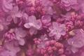 Картинка макро, цветки, сирень