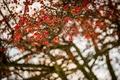Картинка ягоды, дерево, природа