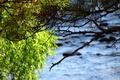 Картинка Сосна, ветки, река, ива
