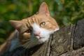 Картинка кошка, взгляд, мордочка, кот