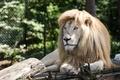 Картинка кошка, грива, белый лев, отдых