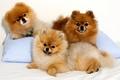 Картинка собака, взгляд, подушка, троица, шпиц