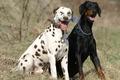 Картинка природа, друзья, Dalmatian, Dobermann, дружба