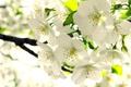 Картинка яблоня, ветка, цветение, весна, белые, бутоны, листья