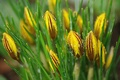 Картинка капли, цветы, бутоны, Крокусы
