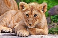 Картинка кошка, львенок, лев, детеныш