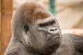 Картинка взгляд, зоопарк, обезьяна