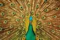 Картинка взгляд, хвост, красивый, птица, узоры, клюв, павлин