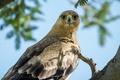 Картинка взгляд, Степной орёл, птица-хищник
