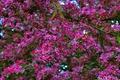 Картинка цветы, дерево, весна, сад