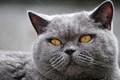 Картинка кошка, глаза, кот, крупный план, серый, портрет, мордаха, британский, толстый, желтоглазый, выразительные