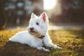 Картинка собака, лохматая, внимание, лучи., Бедлингтон-терьер, солнечный свет, ошейник, трава, белая, газон