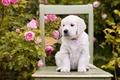 Картинка собака, розы, цветы, щенок, стул