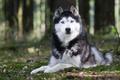 Картинка собака, животное, уши, природа, порода. взгляд, хаски, лапы