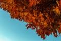 Картинка клен, небо, осень, листья