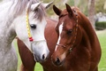 Картинка портрет, кроткий взгляд, коричневая, морды, обои от lolita777, лошади, кони, узда, дружба, белая