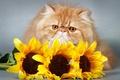 Картинка цветы, взгляд, flowers, киса, opinion, kitty, подсолнухи, sunflowers