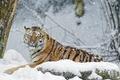 Картинка камень, тигр, хищник, снег, зима