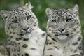 Картинка Леопарды, белый, взгляд