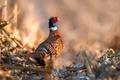 Картинка птица, фазан, Pheasant