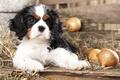 Картинка щенок, солома, малыш, лук