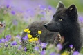 Картинка цветы, черная, растения, трава, песец, арктическая лиса