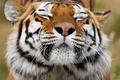 Картинка усы, животное, окрас, хищник, тигр, морда