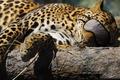 Картинка Леопард, кошка, повязка, спит