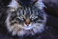 Картинка пушистик, взгляд, злой, глаза, кот