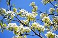 Картинка цветы, яблоня, солнечно, голубое, небо, цветок