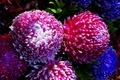 Картинка макро, свет, хризантемы, Chrysanthemums