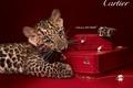 Картинка коробки, кольца, украшения, Cartier, часы, бренд, цепочки, леопард