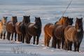Картинка Iceland, снег, Исландия, зима, лошади, кони