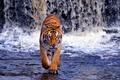 Картинка водопад, Бенгальский тигр, вода, хищник