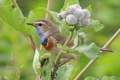 Картинка природа, варакушка, лопух, репейник, птицы