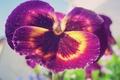 Картинка цветы, макро, сад, природа, цветок, фиолетовый
