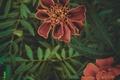 Картинка Бархатцы, Логинов, зелень, цветы