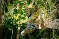 Картинка leptailurus serval, сервал, хищник, кустарниковая кошка