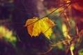 Картинка кленовый, лист, ветки