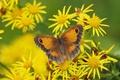 Картинка цветы, макро, Якобея, Крупноглазка жёлто-бурая, бабочка