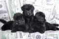 Картинка щенки, трио, овчарка, черный