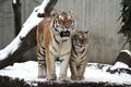 Картинка кошка, тигрёнок, снег, котёнок, пара, тигр, тигрица, амурский, семья, детёныш