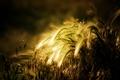 Картинка широкоэкранные, HD wallpapers, обои, разное, пшеница, рожь, полноэкранные, солнце, background, fullscreen, широкоформатные, фон, widescreen, колоски, ...