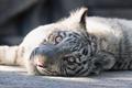 Картинка кошка, взгляд, тигрёнок, белый тигр, котёнок, морда