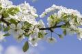 Картинка цветы, небо, ветка, весна