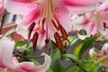 Картинка лилии, лепестки, макро, тычинки