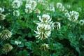 Картинка цветы, макро, клевер