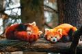 Картинка две штуки, ветки, firefox, красная панда, дерево, агонь