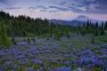 Картинка люпины, цветы, горы, Goat Rock Wilderness, Washington, деревья, поляна, Cascade Range
