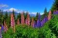 Картинка Новая Зеландия, цветы, New Zealand, люпины